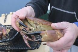 Nærbilde av hendene til Joachim Ingolfsen som holder en krabbe